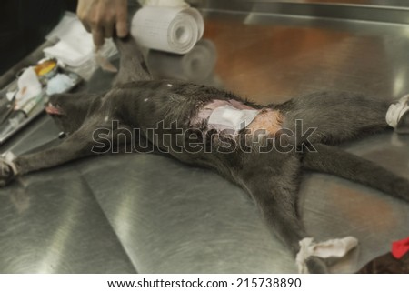 dog surgery wound ,post operation wound on abdomen in the dog - stock photo