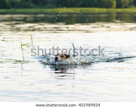 Dog swimming and making funny splashes by tail - stock photo