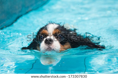 Dog swimming. Front view - stock photo