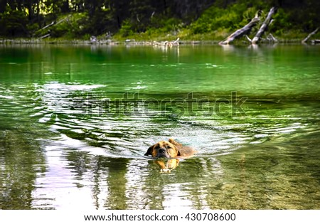 Dog swimming in a mountain lake - stock photo