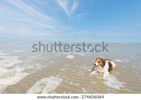 Dog swimming in North sea beach at Dutch wadden island Terschelling - stock photo