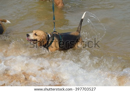 Dog swimming in the sea (Beagle - Selective focus)