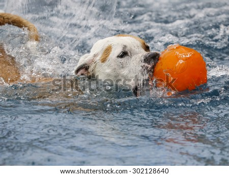 Dog swimming through the pool with her ball - stock photo