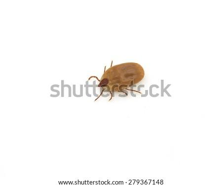 dog ticks isolated on a white background - stock photo