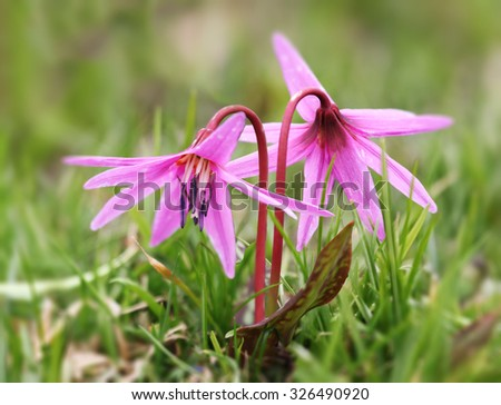Dog tooth violet (Erythronium) flowering on alpine meadows