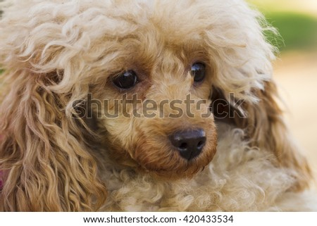 Dog Toy Poodle apricot color for a walk