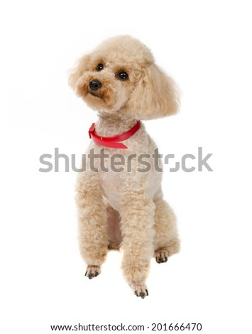 Dog Toy Poodle sitting and looking forward on a white background with a red collar. - stock photo