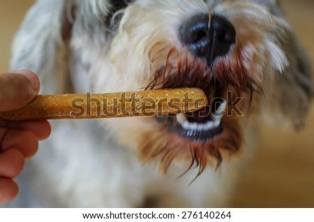 Dog training eating food snack, motion blur - stock photo