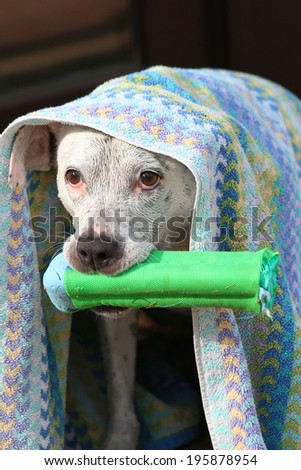 Dog under a towel after swimming holding onto a toy - stock photo