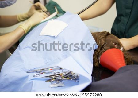 Dog Undergoing Surgery At Vets - stock photo