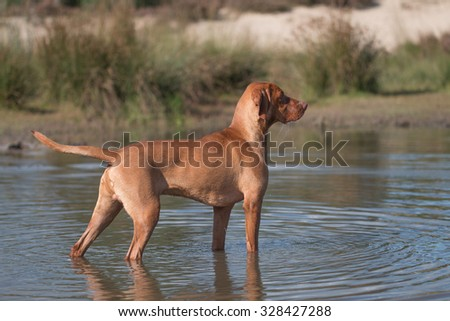 Dog, Vizsla, Hungarian pointer, standing in water - stock photo