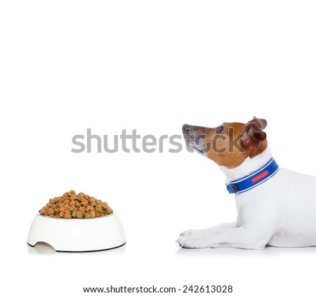 dog waiting for a sign to start eating food out of the bowl , looking up to owner, isolated on white background - stock photo