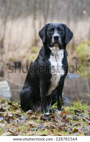 Dog waiting for further instructions from its leader. - stock photo