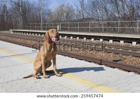 dog waiting for his master to rural station, spring day, Viszla - stock photo