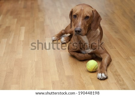Dog waiting to play in house - stock photo
