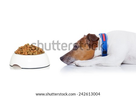 dog waiting  to start eating food out of the bowl ,  isolated on white background - stock photo