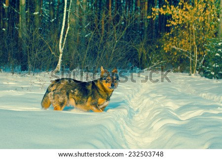 Dog walking in the deep snow near forest - stock photo