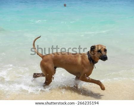 Dog walking on tropical beach - stock photo