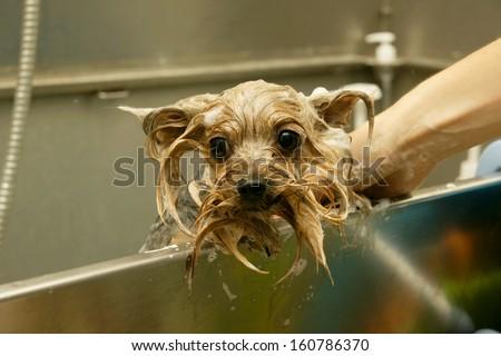 Dog wash before shearing - stock photo