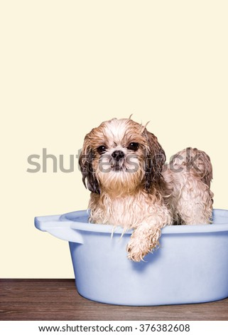 dog wash in a basin. yellow background