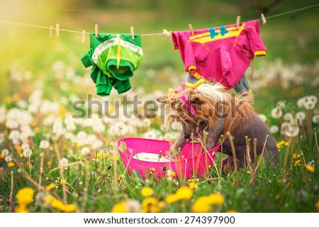 Dog washes clothes in the meadow - stock photo