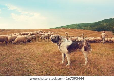 Dog watching flock of sheep - stock photo