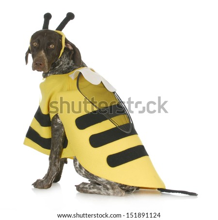dog wearing bee costume - german short haired pointer in bumble bee costume - stock photo
