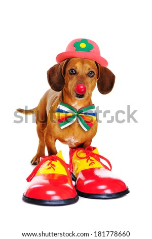 Dog wearing clown outfit - stock photo
