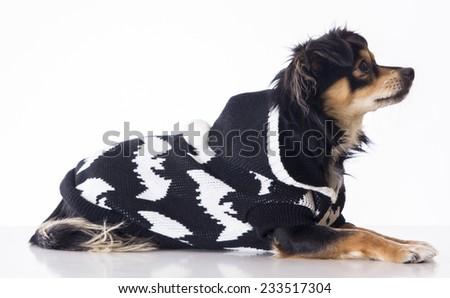 Dog wearing cute jersey - stock photo