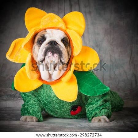 dog wearing flower costume - bulldog - stock photo