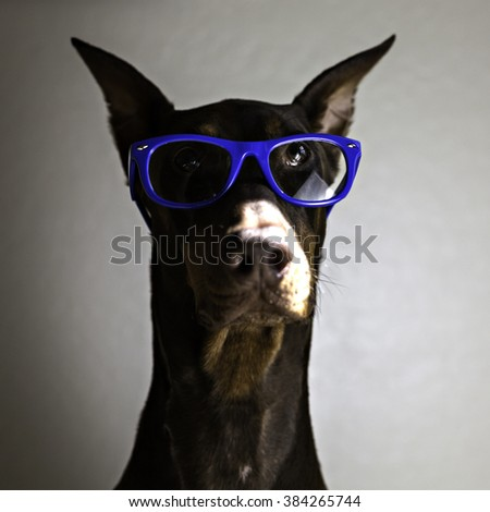Dog wearing glasses in color - stock photo
