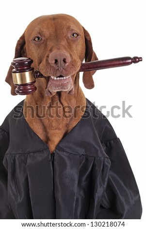 dog wearing judge`s robe and holding a gavel in mouth isolated on white background - stock photo