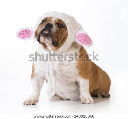 dog wearing knitted lamb hat isolated on white - english bulldog - stock photo