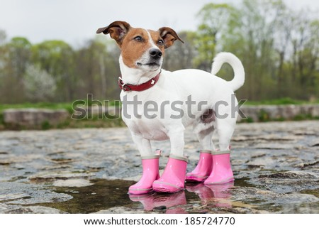 dog wearing pink rubber boots inside a puddle - stock photo