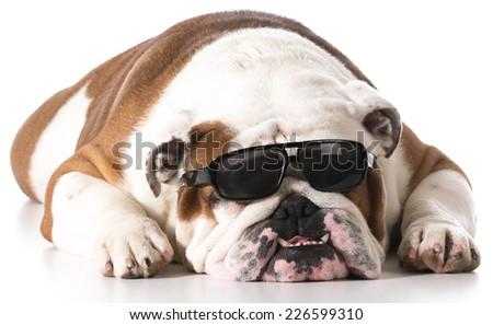 dog wearing sunglasses on white background - english bulldog - stock photo