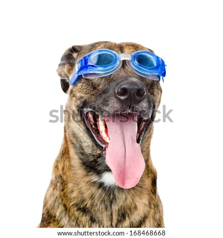 dog wearing swimming goggles isolated on white background