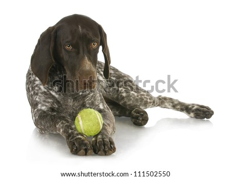 dog with a ball - german short haired pointer with a tennis ball between her paws - 4 months old - stock photo
