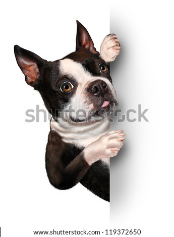 Dog with a blank card vertical sign as a Boston Terrier with a smiling happy expression supporting and communicating a message pertaining to pet care on white. - stock photo