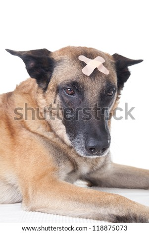 Dog with a plaster on his head