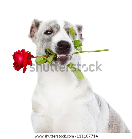 dog with a red rose. isolated on white background - stock photo
