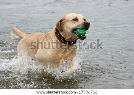 Dog with ball at teeth runs on water - stock photo