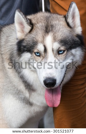 dog with blue eyes looking into the camera