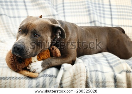 Dog with broken toy bunny rabbit on home interior background - stock photo