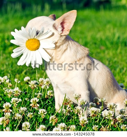 dog with chamomile in mouth - stock photo