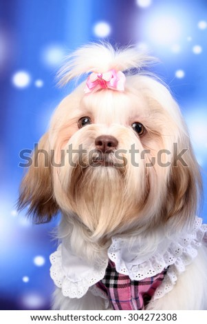 dog with cloth , winter dog ,chinese dog ,shitzu  - stock photo