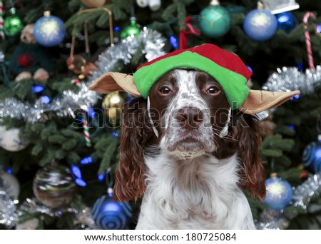 dog with elf ears