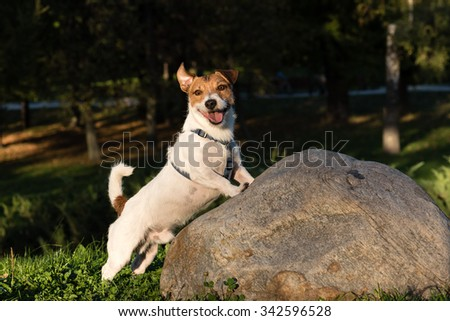 Dog with funny face expression.  Jack Russell Terrier walking at park - stock photo