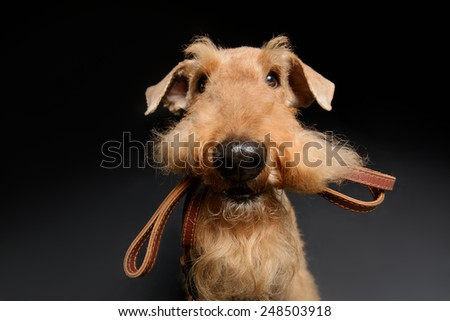Dog with leather leash. Portrait of black brown Airedale Terrier dog with a leash in the mouth isolated on black background
