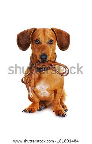 dog with leather leash ready to go for a walk - stock photo