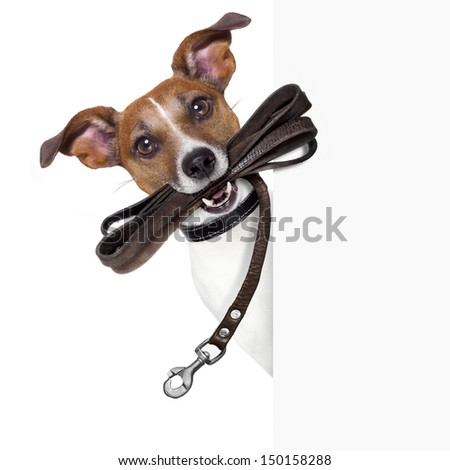 dog with leather leash waiting to go walk  - stock photo